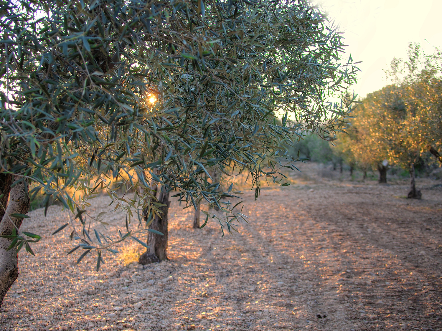Information about Olive oil